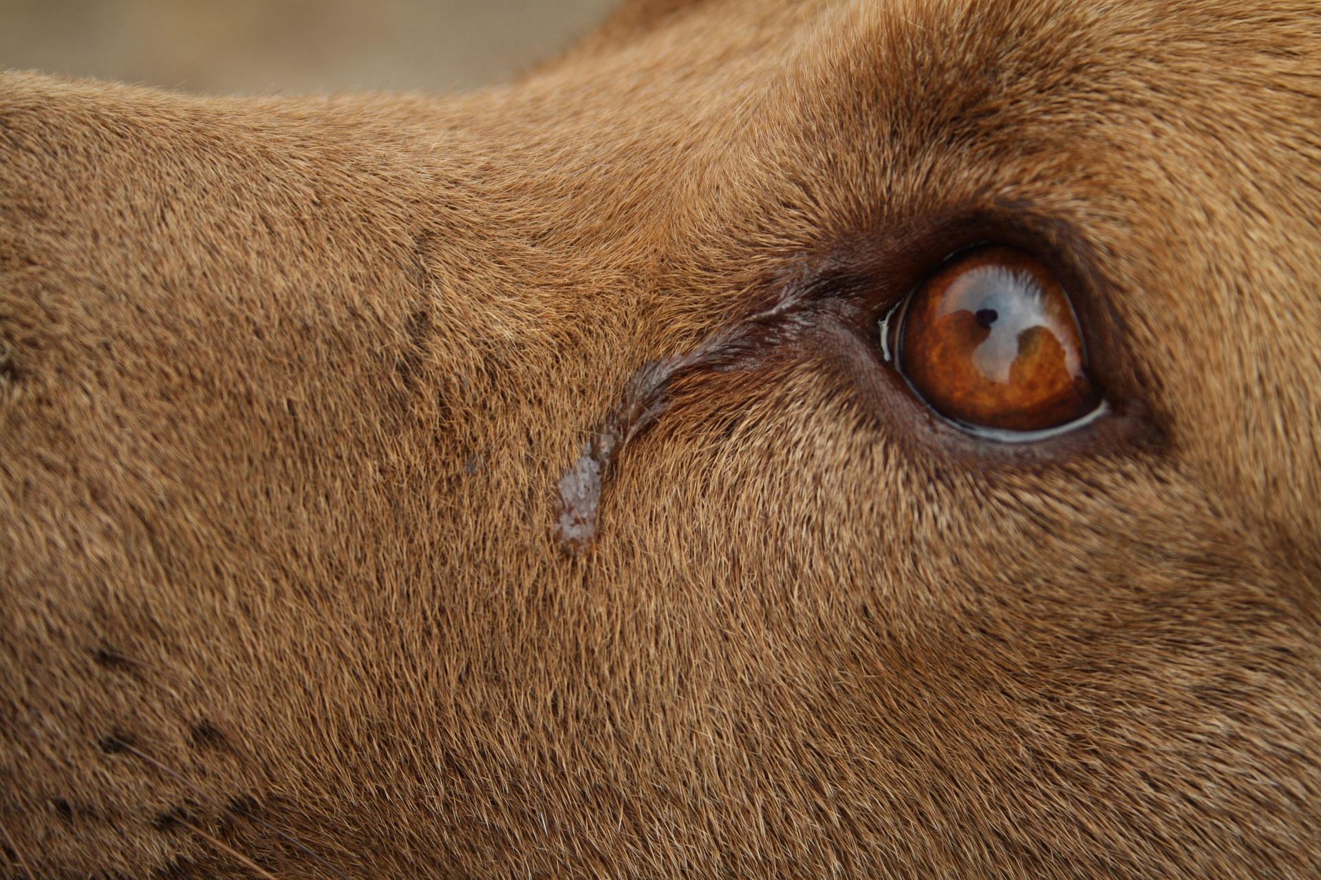 Zapalenie spojówek u psa objawia się nadmiernym łzawieniem. Do przemywania oczu psa można stosować sól fizjologiczną, nie można używać rumianku.