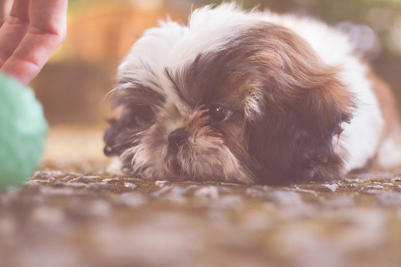 Zabawa z psem podczas kwarantanny nie musi oznaczać tylko ganiania na dworze. Jest wiele pomysłów na wspólne spędzanie czasu z psem w domu.