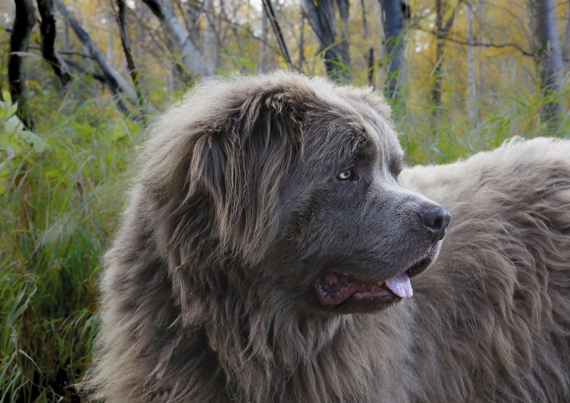 Pies nowofundland jest psem typowo pracującym, nie straszny mu wysiłek i uwielbia pracę z ludźmi.