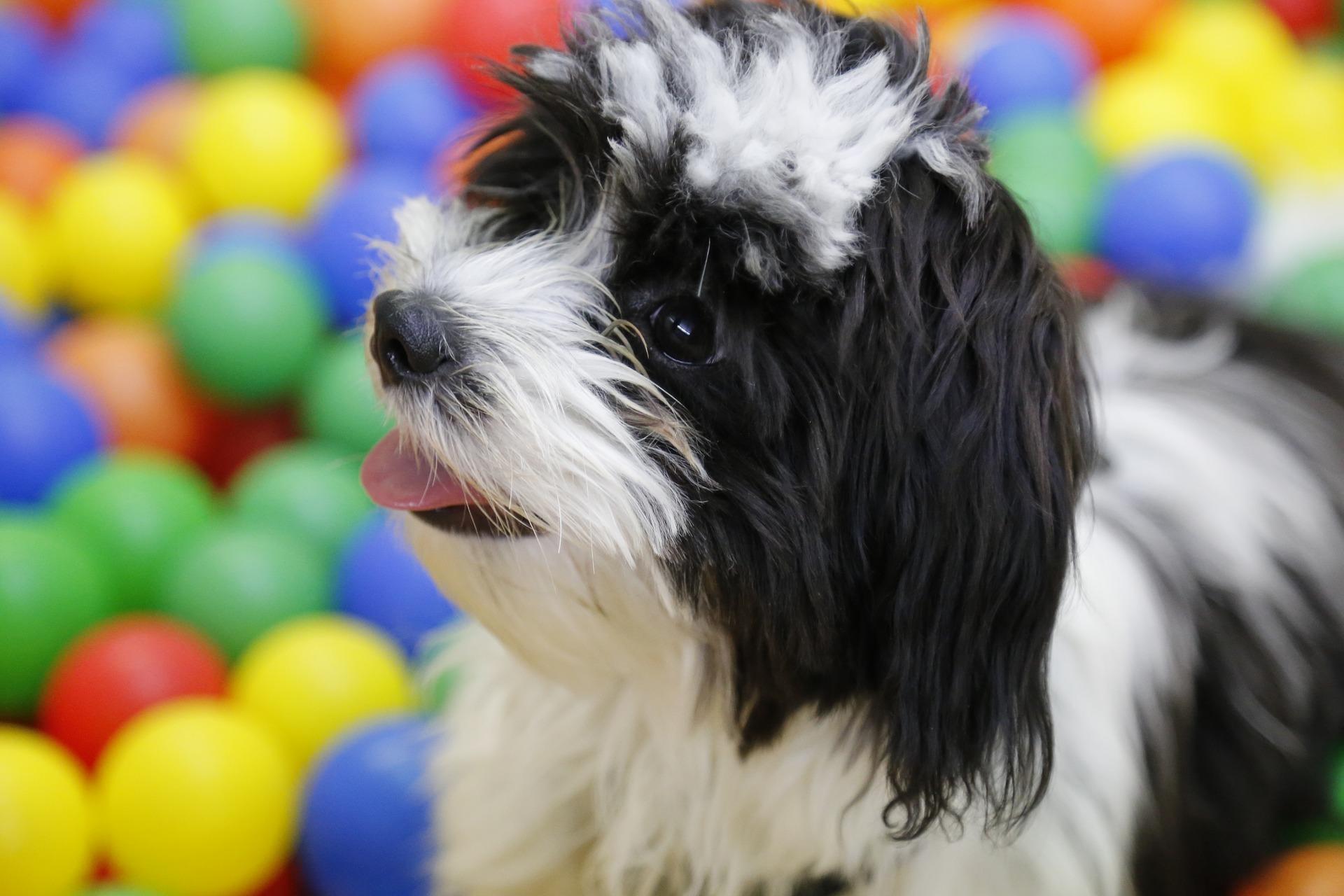 Hawańczyk to bardzo towarzyski pies, uwielbia kontakt z ludźmi, a przy tym jest chętny i podatny na naukę.