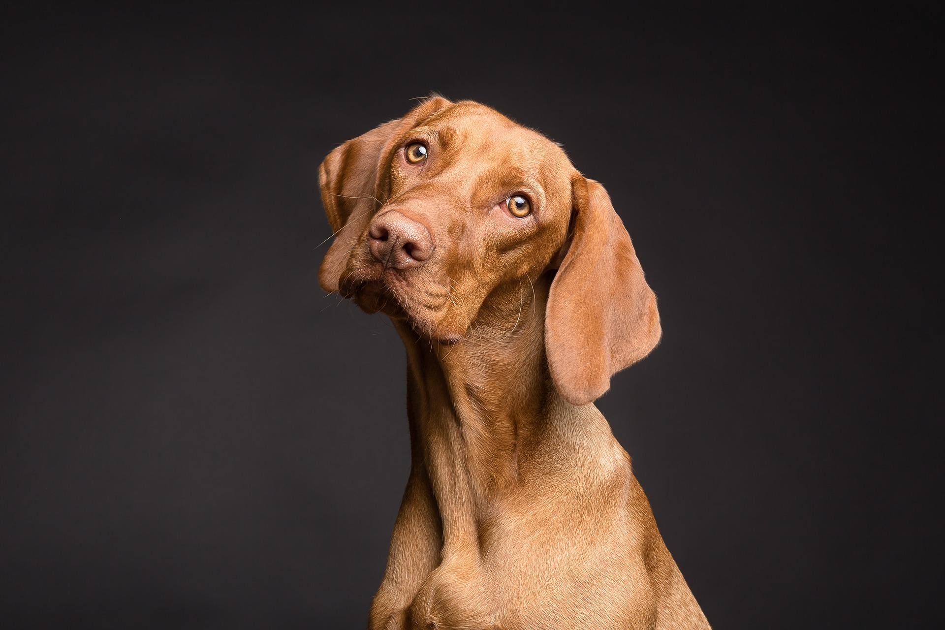 Wycie psa często jest sygnałem lęku separacyjnego psa i nasila się podczas nieobecności opiekunów w domu.