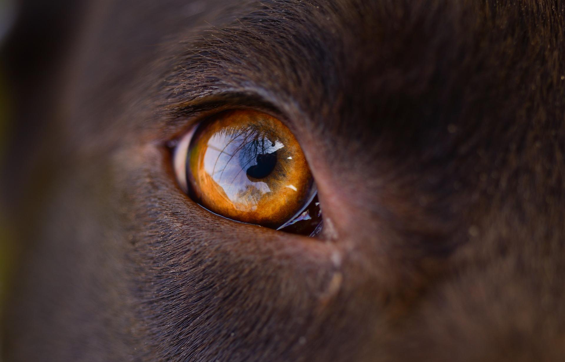 Rogówka oka psa jest bardzo duża. Duża powierzchnia pozwala na duży rozmiar źrenic, ci ułatwia widzenia w nocy i przy słabym świetle.