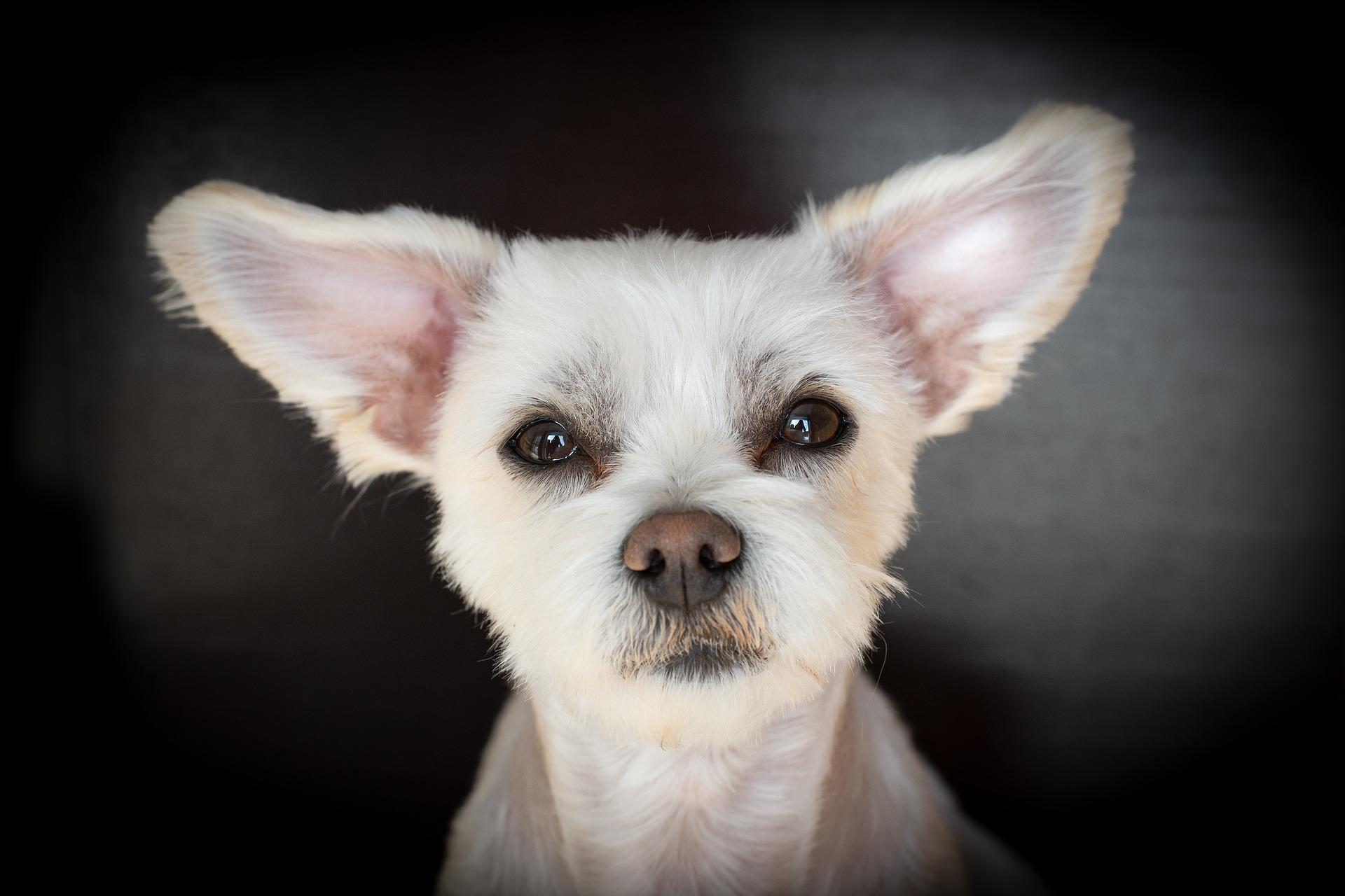 Strzyżenie psów powinno być prowadzone jedynie przez osoby zaznajomione z tematem i posiadające odpowiednie umiejętności. Złe strzyżenie czy golenie może łatwo zranić psa i pozostawić już na długo uraz. Estetyka zabiegu wykonanego w domu też nigdy nie będzie zbliżona do tej z salonu groomerskiego.