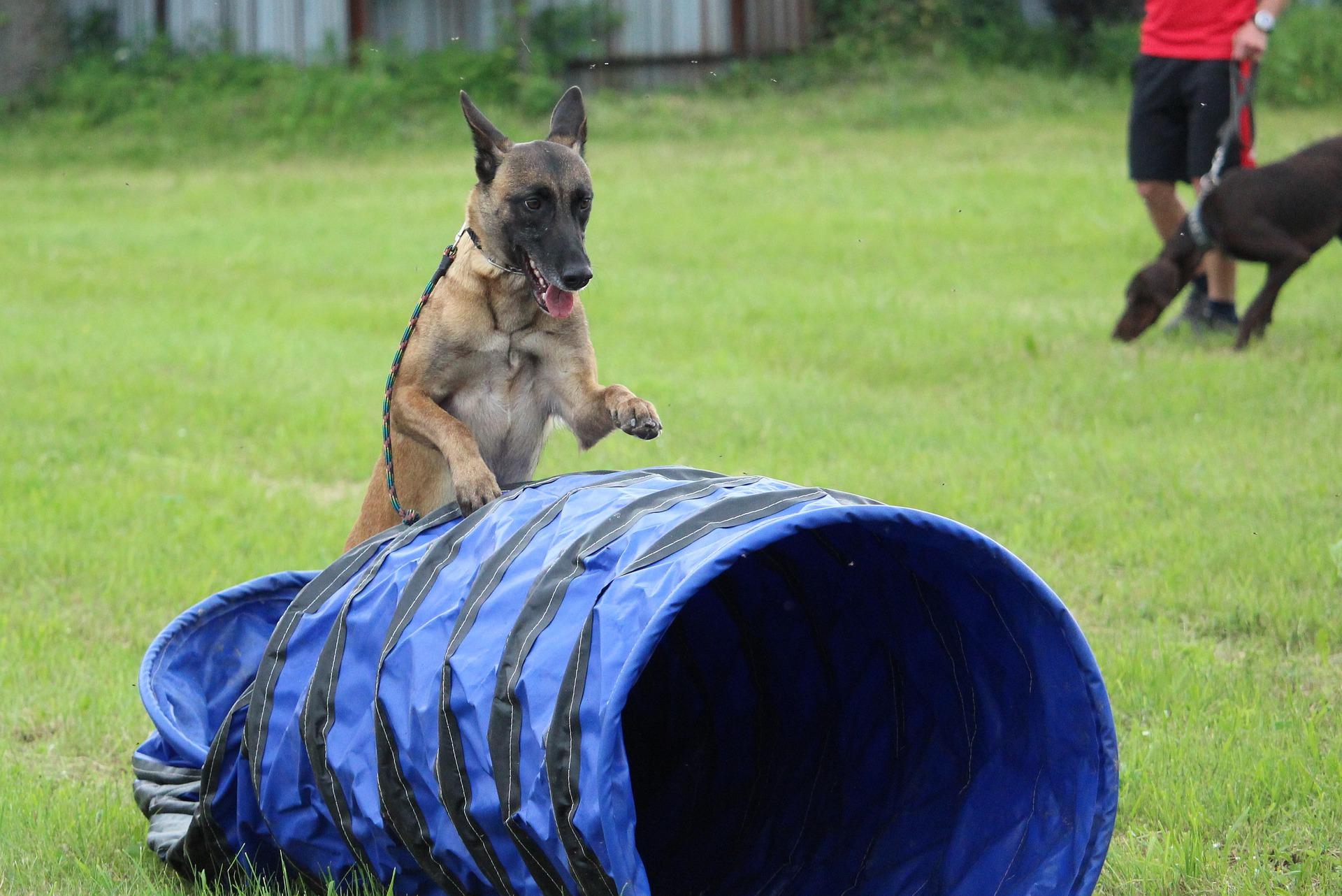 Psy, które na placach zabaw zdobywają wysoki poziom sprawności i dobrze radzą sobie z przeszkodami, mogą być dobrymi kandydatami do zawodów agility.