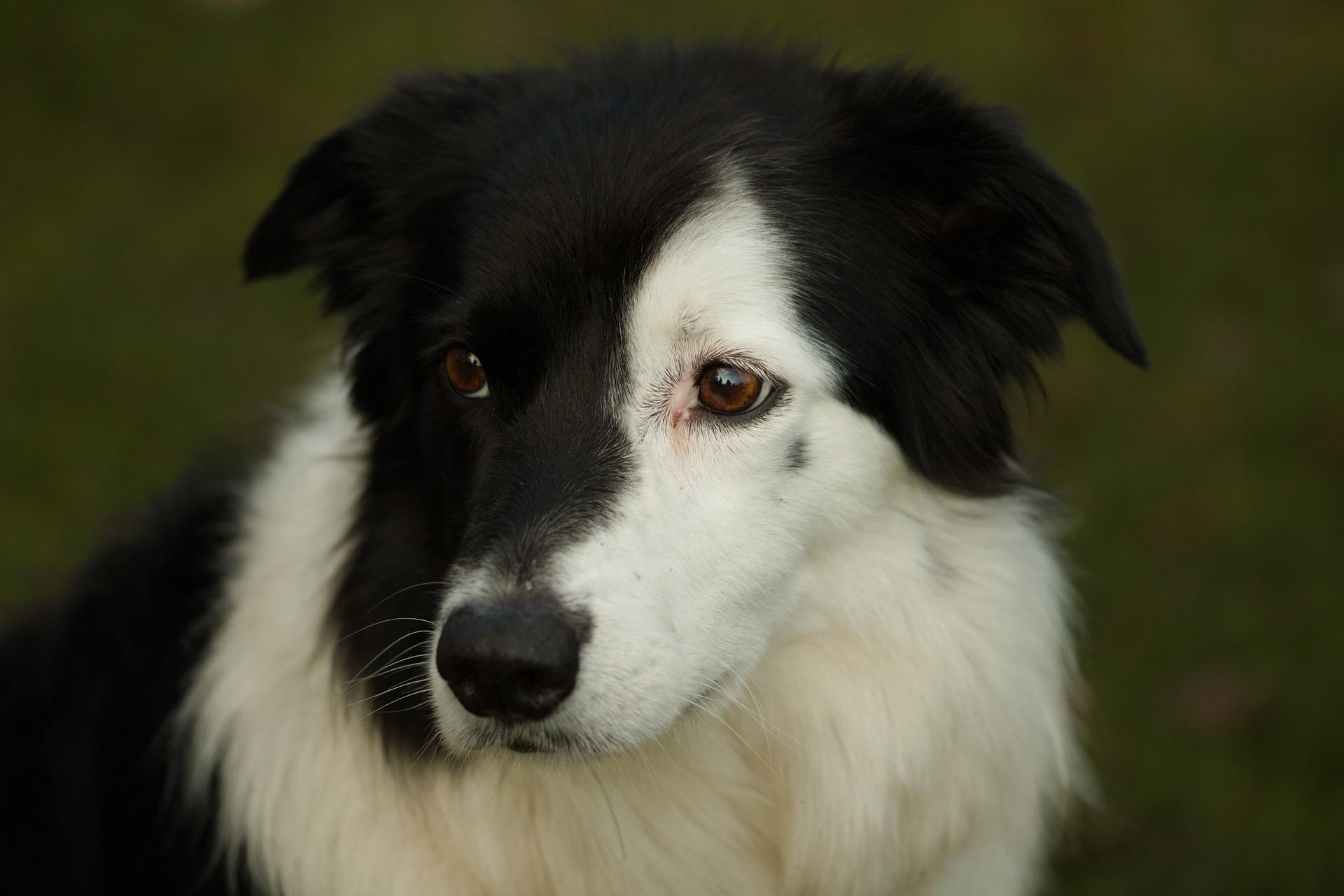 Przy zapaleniu spojówek u psa bardzo ważna jest szybko diagnostyka i usunięcie przyczyny wystąpienia problemu. Zazwyczaj konieczne jest wprowadzenie środków farmakologicznych i regularne przemywanie oczu.