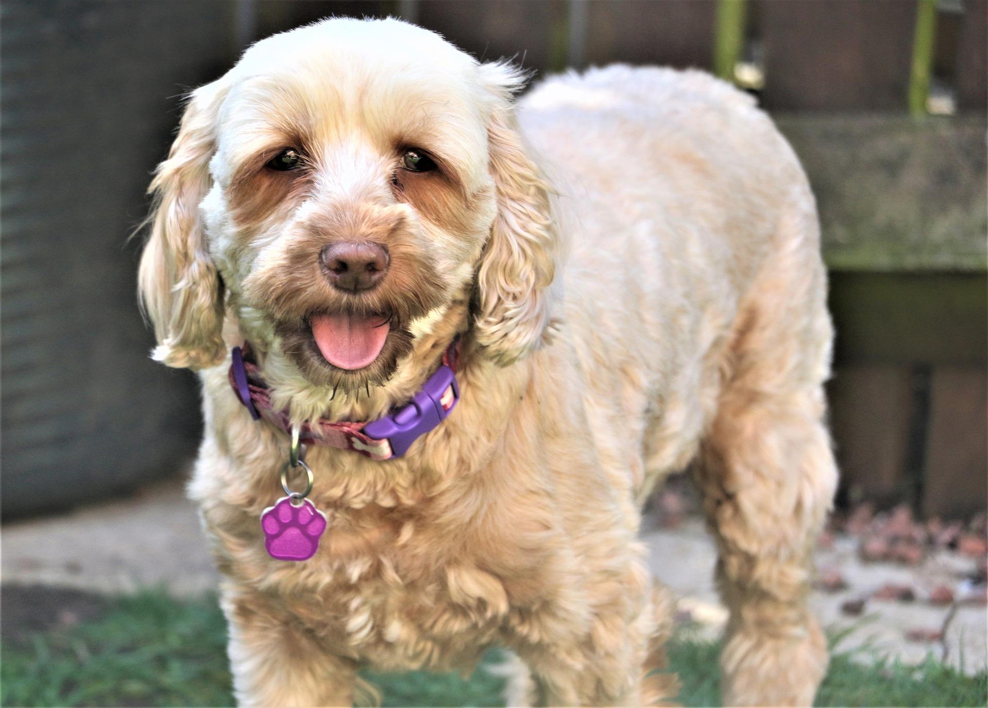 Cockapoo jest mieszańcem psów dwóch ras - spaniela i pudla. Jego charakter zależny jest od puli genów jakie w większości odziedziczy.