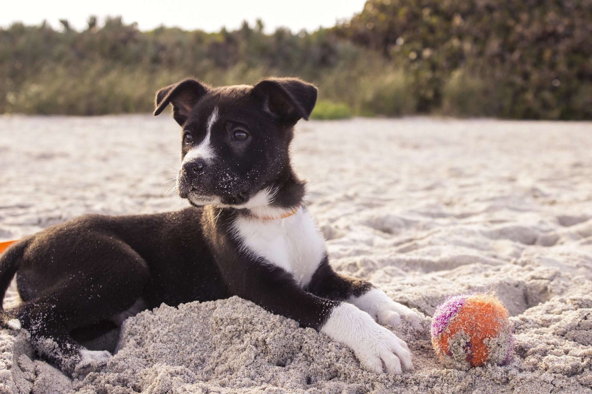 Jakość opieki nad szczeniakiem determinuje późniejsze zachowania psów i decyduje o zdrowiu psychicznym i fizycznym zwierzęcia.