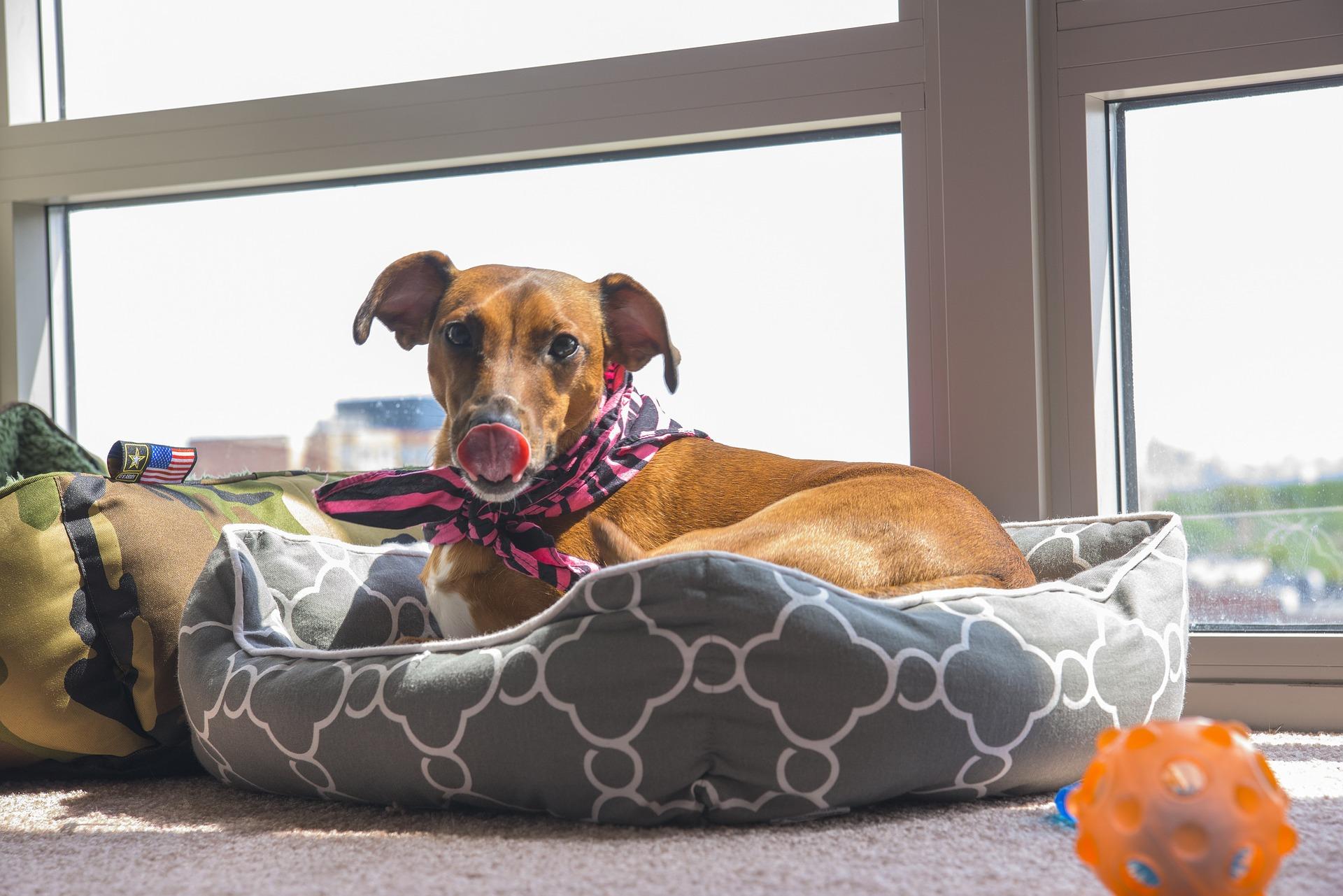 Jak spędzać czas z psem podczas epidemii koronawirusa? Przebywając razem całe dnie z powodu koronawirusa pies może szybko popadać w nudę i znajdzie sobie zajęcia np. w formie niszczenia ludzkich sprzętów. Warto przekierować energię psa na dedykowane ku temu przedmioty - gryzaki, zabawki, suszone smaczki.