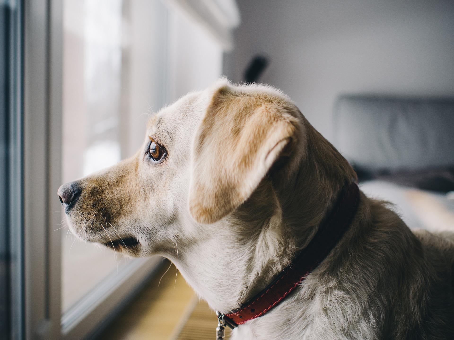 Lęk separacyjny najczęściej dotyka psy zaraz po wejściu w okres dojrzałości. Należy od szczeniaka uczyć psa pozostawiania samemu w domu.