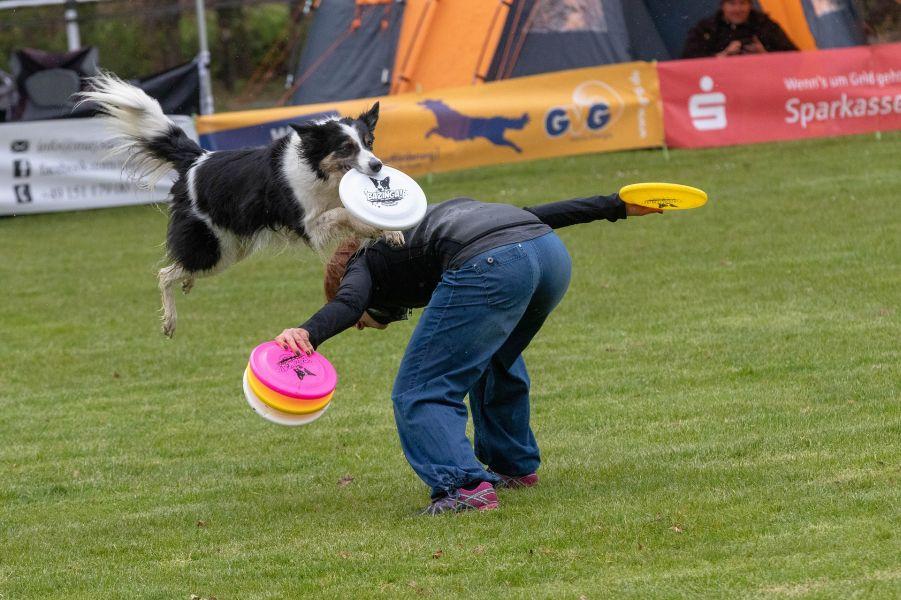 Border collie wskakuje na plecy opiekuna, aby złapać dysk podczas treningu frisbee.