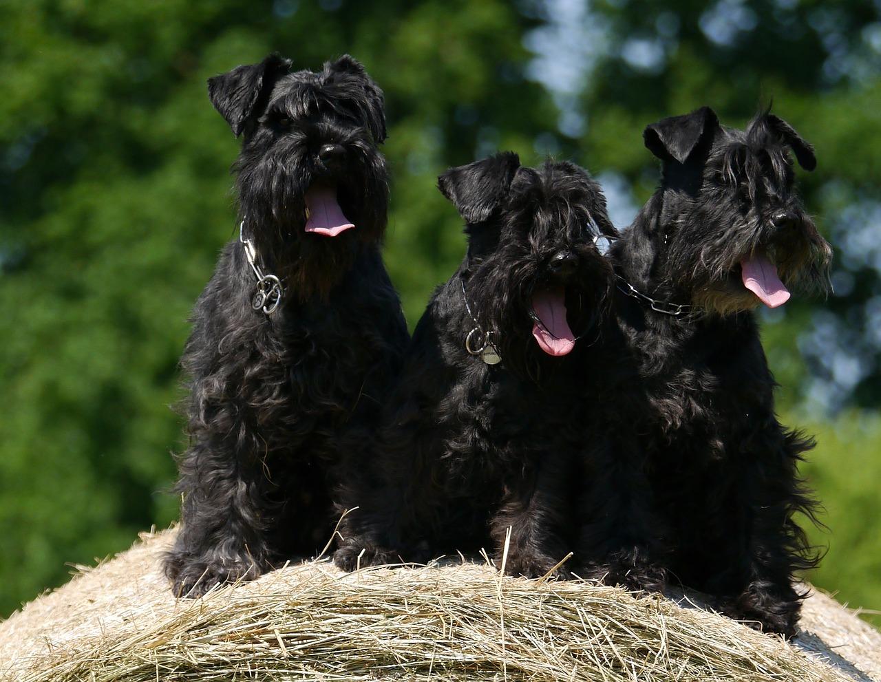Trzy czarne sznaucery siedzą na stogu siana. Sznaucery wymagają regularnego trymowania.
