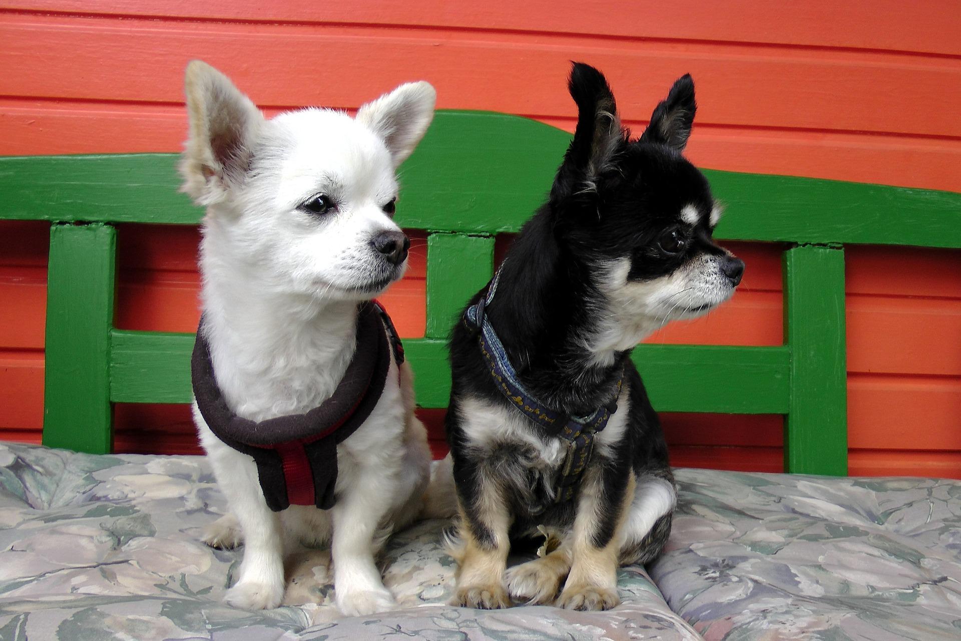 Mimo swojego małe rozmiaru ciała i słodkiego wyglądu, nie można zapominać, że chihuahua to pies i posiada takie same potrzeby gatunkowe jak jego więksi pobratymcy. Chihuahua nie jest zabawką.