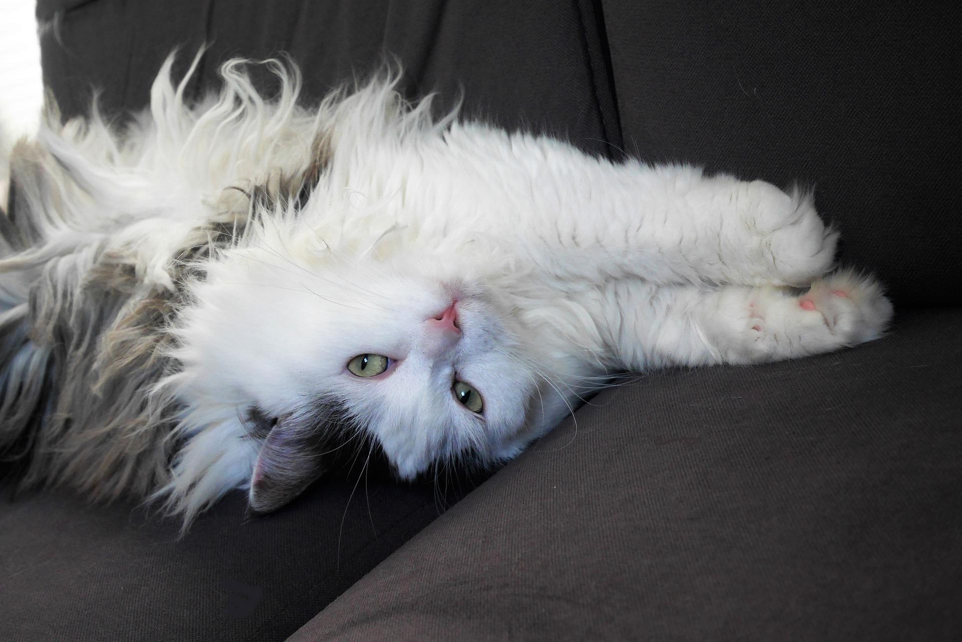 Kot syberyjski jest żywiołowy i przyjacielski. Uwielbia zabawę, skoki i wspinanie się.