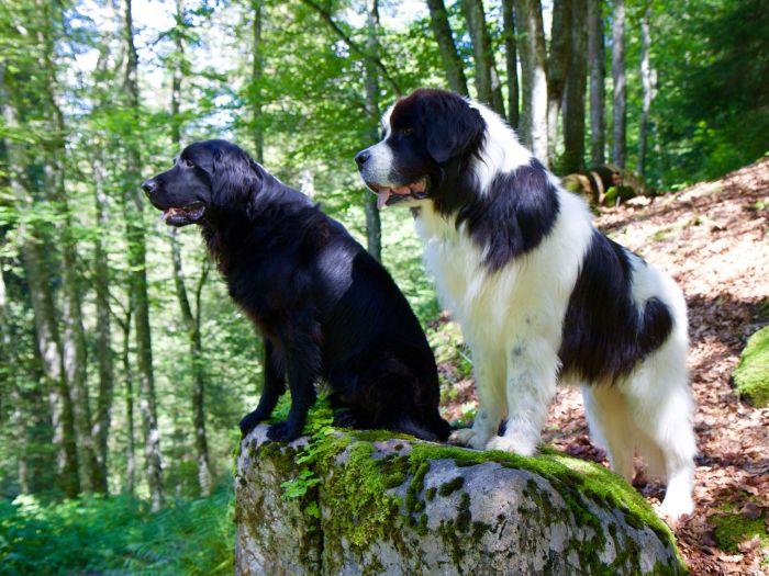 Dwa landseery stoją w lesie.