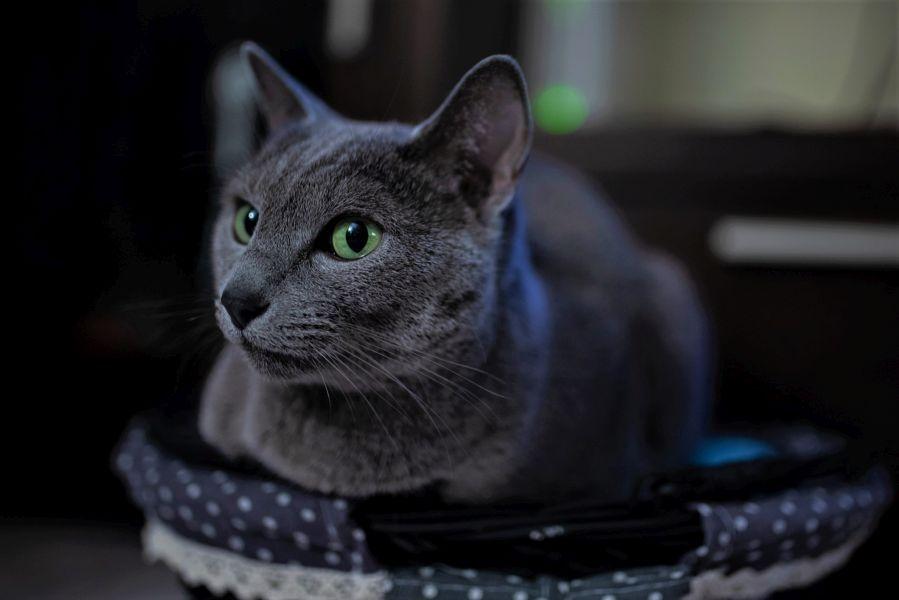 Kot rosyjski niebieski o intensywnie zielonych oczach.
