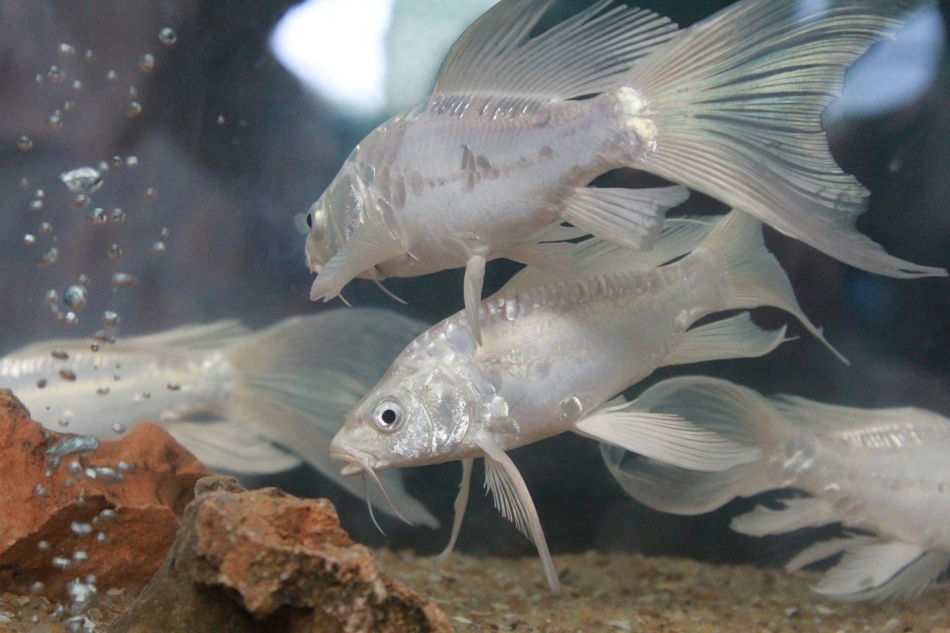 Rybia ospa często dotyka ryby akwariowe, źródłem zakażenia może być woda z pasożytami, chore rośliny, zakażony żywy pokarm.