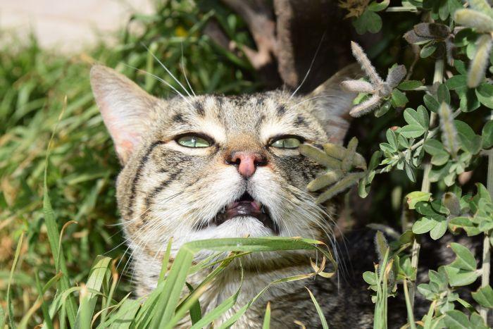 Kot podczas odruchu flehmen - unosi górną wargę, wprowadzając powietrze do narządu Jacobsona.