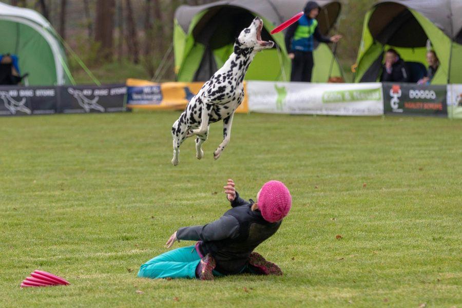 Dalmatyńczyk w locie łapie frisbee, przeskakując nad opiekunem.