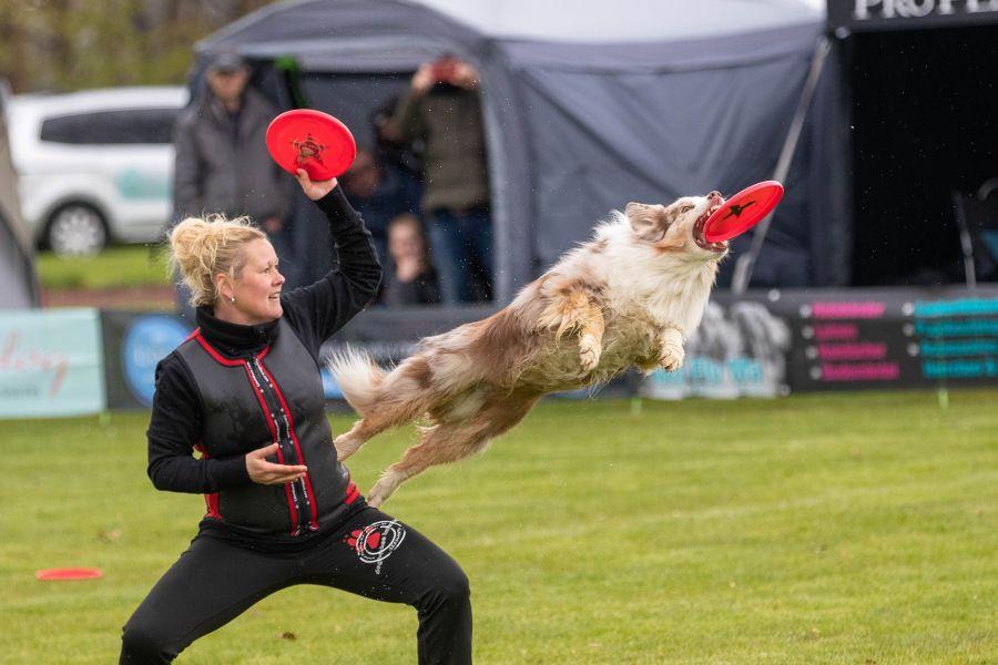 Owczarek australijski łapie frisbee podczas treningu.