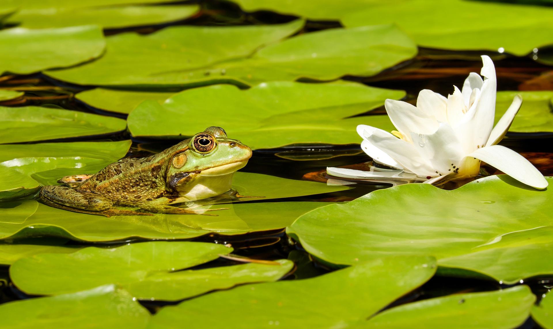 Pływające rośliny wodne dodają oczku wodnemu niezwykłego uroku. Co więcej, ich liście zacieniają latem zbiornik, przez co chronią wodę przed przegrzaniem. Stanowią też schronienie dla drobnych zwierząt wodnych i narybku.