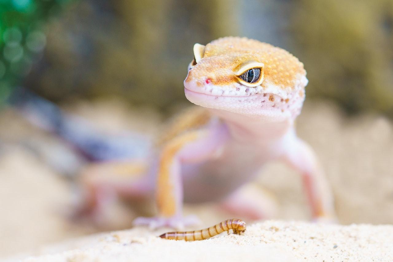 Gekony są mięsożerne, żywią się owadami, gryzoniami czy nawet małymi ptakami.