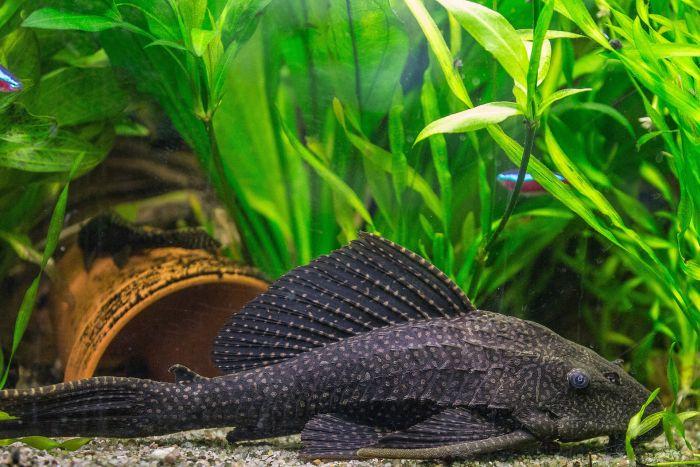 Glonojad wśród roślinności akwarium.