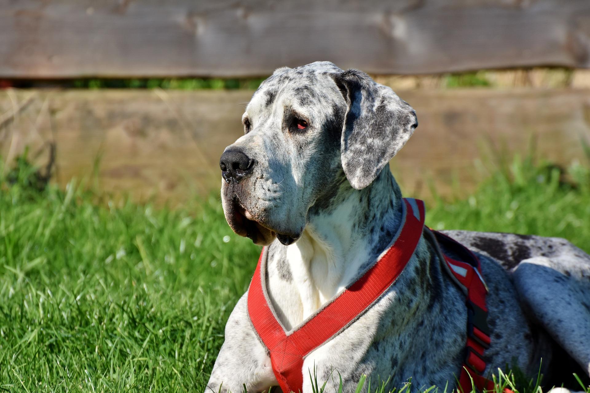 Dog niemiecki jest bardzo zrównoważonym psem, opanowanym i łatwym do współpracy.