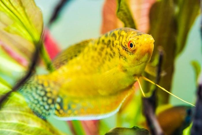 Gurami złote w roślinnym akwarium.