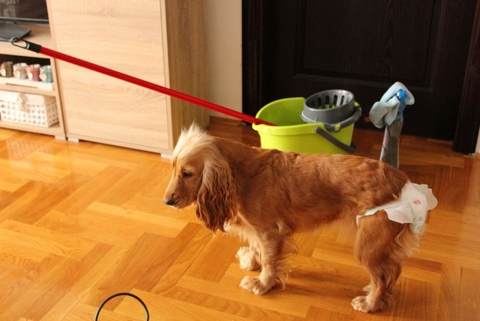 Suczka w specjalnych pampersach dla psa.
