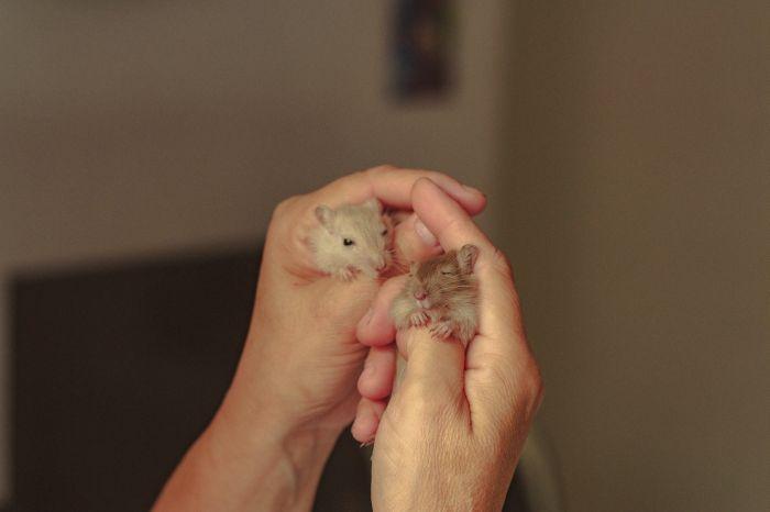 Dwa małe chomiczki w dłoniach.