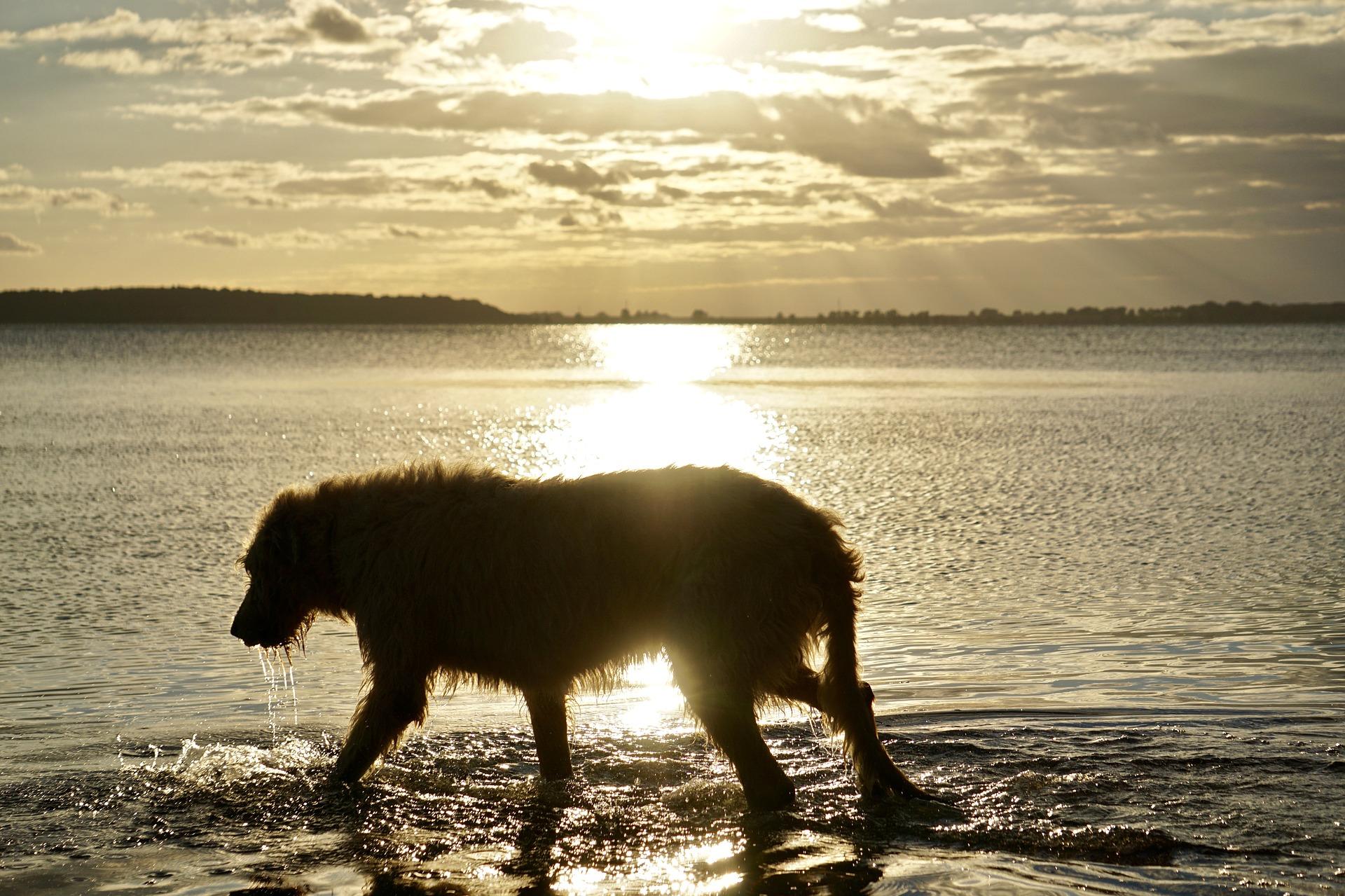 Wilczarz jest spokojnym i zrównoważonym psem, lubi bieganie. Polecany jest dla osób wrażliwych, mających dużo czasu i pieniędzy, aby mu je poświęcić.