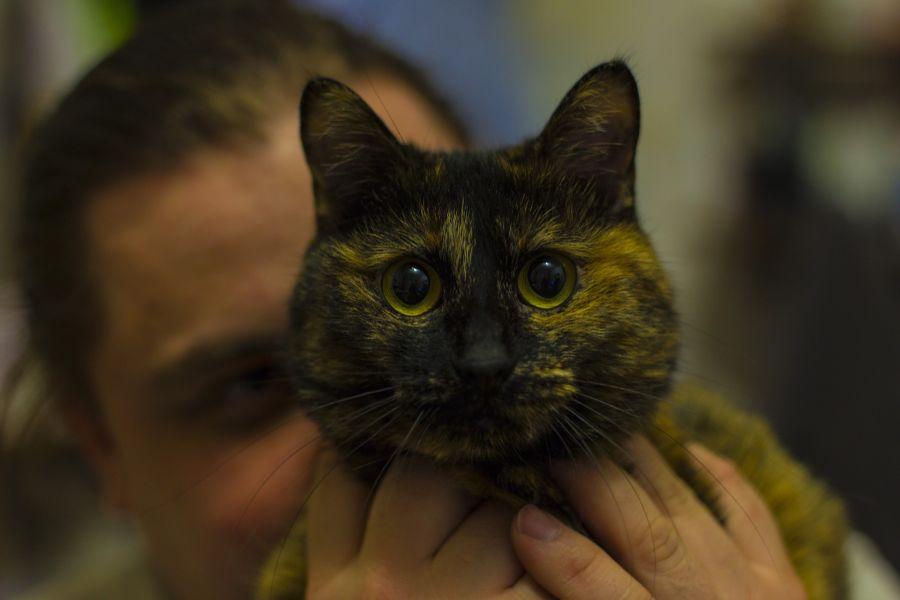 Kot bobtail ma charakterystyczny długi nos i wysoko zarysowane kości policzkowe, co nadaje mu japońskiego wyglądu.