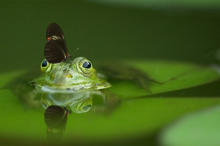 Żaba zanurzona w oczku wodnym