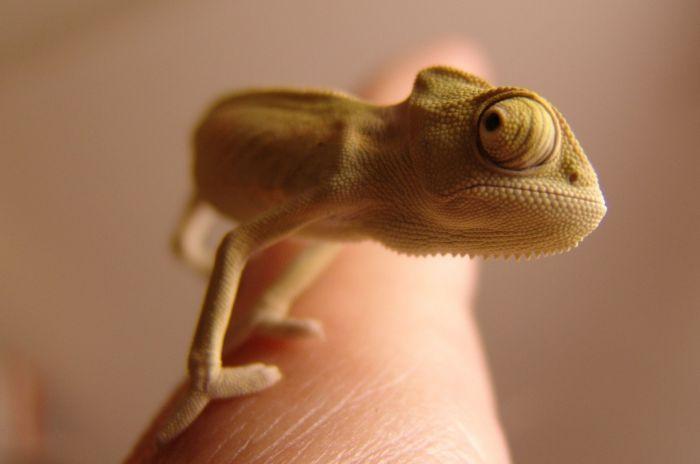 Kameleon jameński na ludzkiej dłoni.