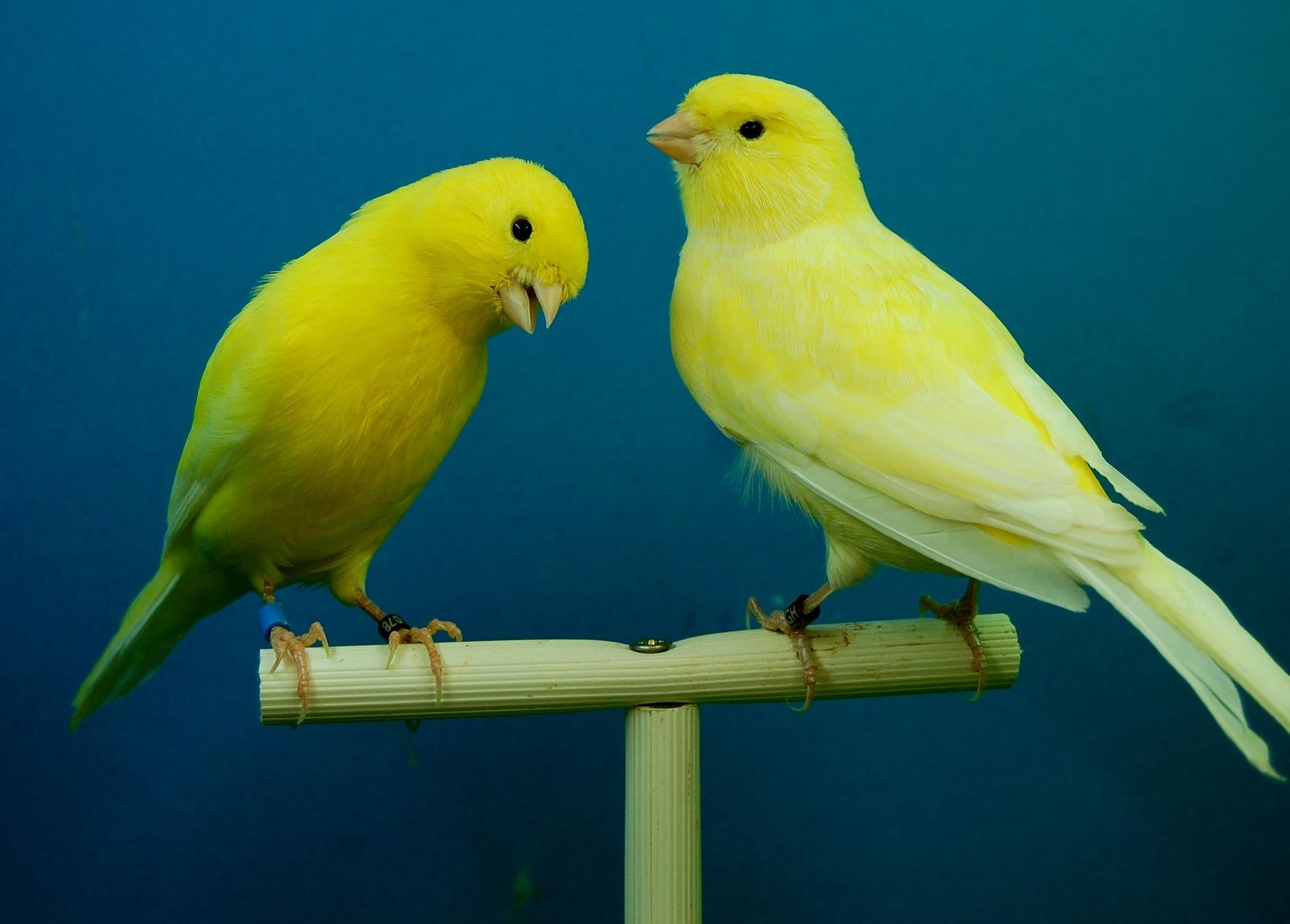 Kanarki w naturze żyją w małych stadach, w których czują się najlepiej. W warunkach domowych ciężko utrzymać więcej niż jednego - dwa ptaki, ze względu na duże wymagania powierzchni - klatki.