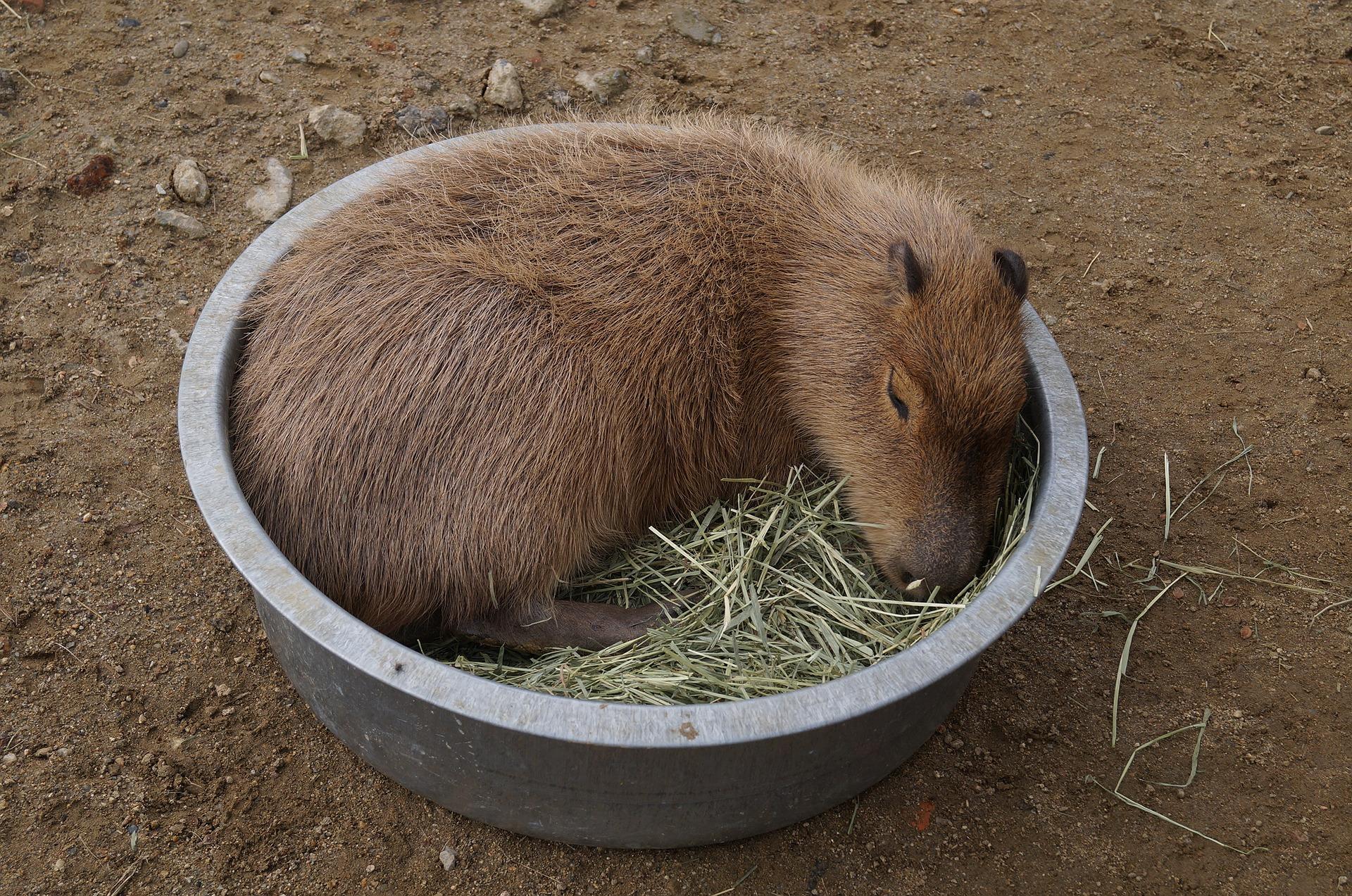 Kapibary są bardzo towarzyskie, mają stosunkowo długą szczecinę, która nie chroni ich przed mocnym zimnem.