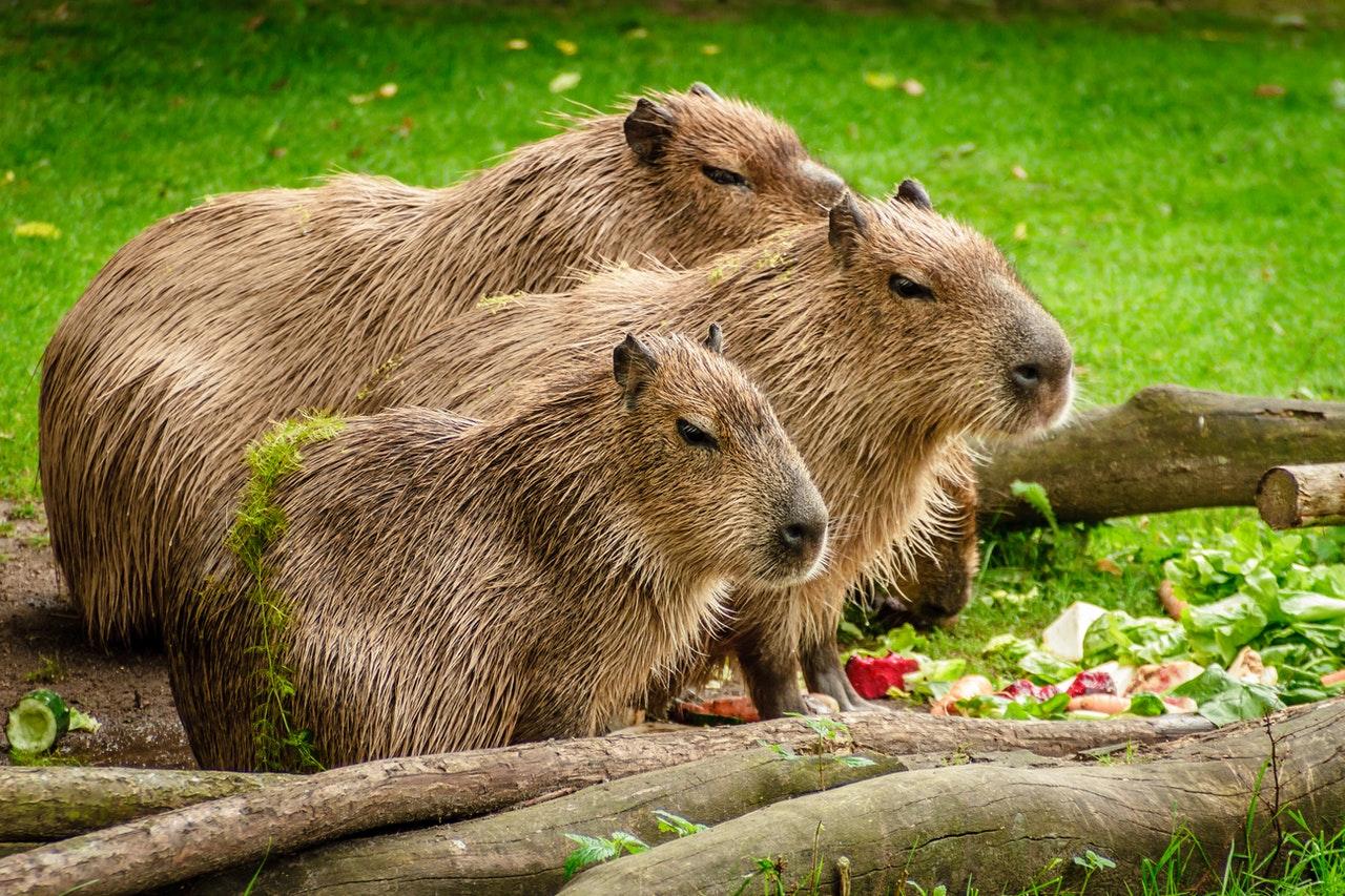 Kapibary są zwierzętami stadnymi, najchętniej spędzaj czas wspólnie z rodziną.
