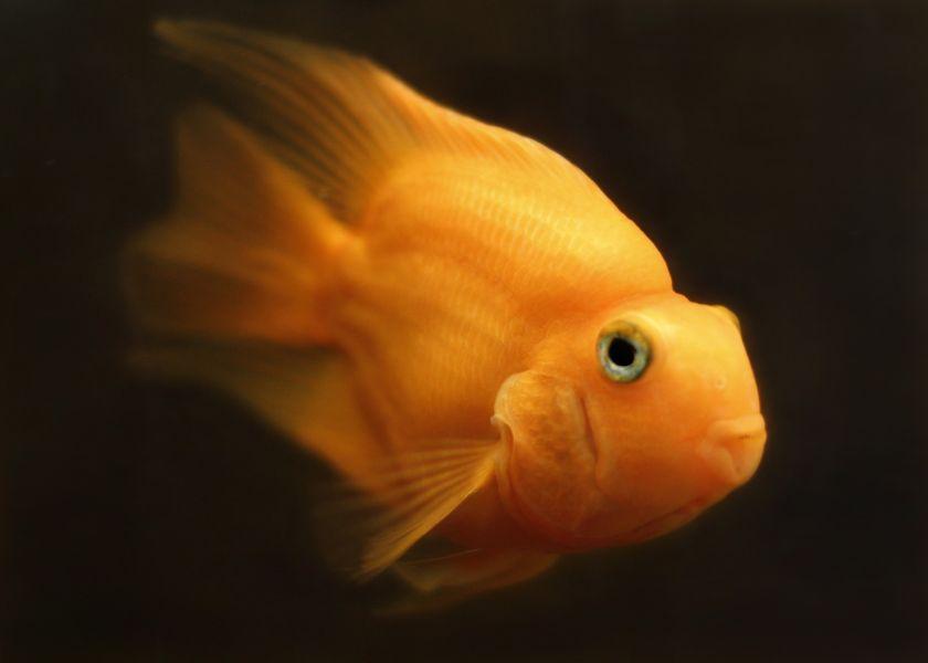 Złota rybka o matowych łuskach.