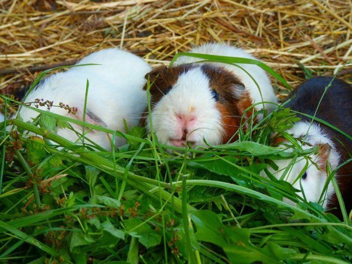 Trzy świnki morskie jedzą świeżą trawę.