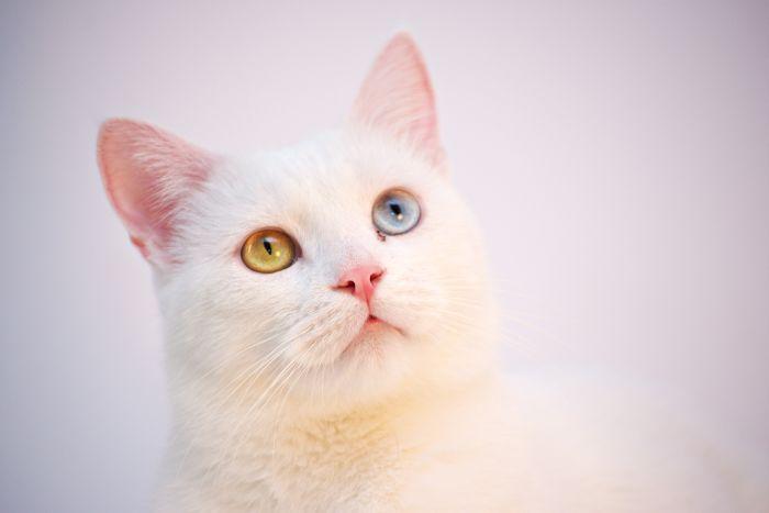 Kot khao manee z oczami koloru zielonego i niebieskiego
