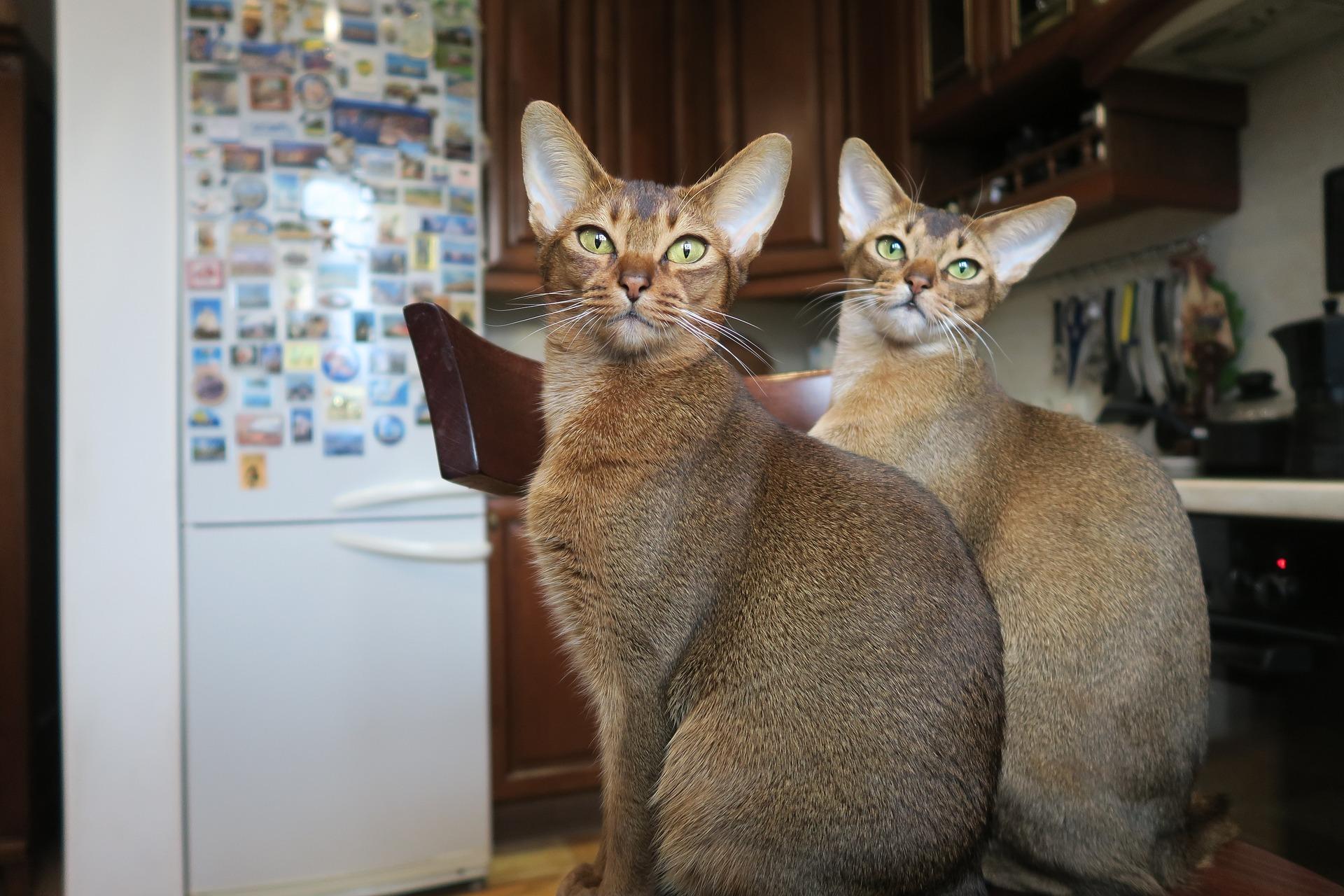 Przepiękne i inteligentne koty abisyńskie nie cieszą się jeszcze dużą popularnością w Polsce. Po odbudowie rasy po wojnach, dopiero zyskują fanów.