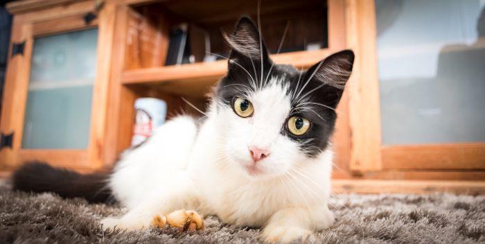 Czarno-biały kot leży na dywanie.