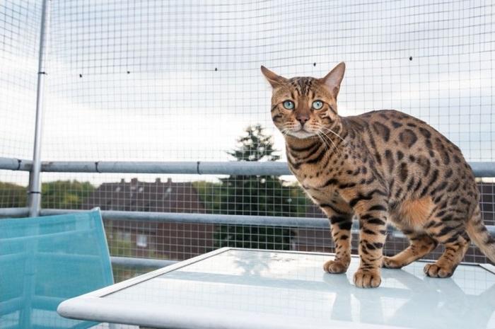 Kot bengalski w bezpiecznej wolierze na balkonie.