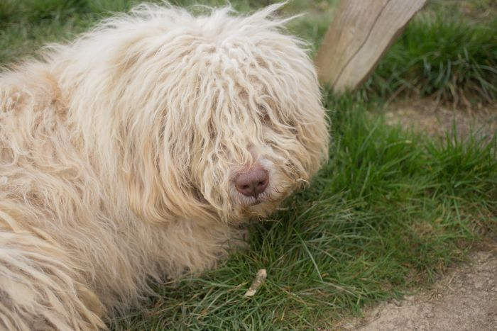 Pies komondor ze sznurkowaną sierścią.