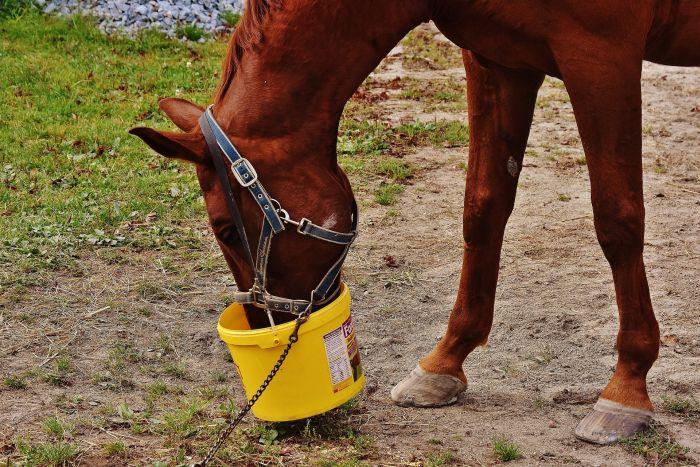 Koń wyjadający z wiaderka paszę