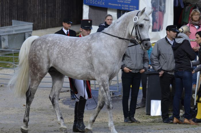 Koń arabski siwy podczas pokazu.