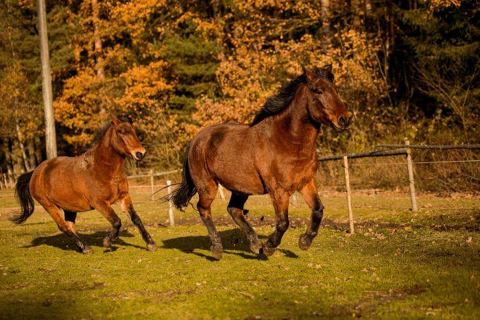 Konie huculskie na pastwisku.