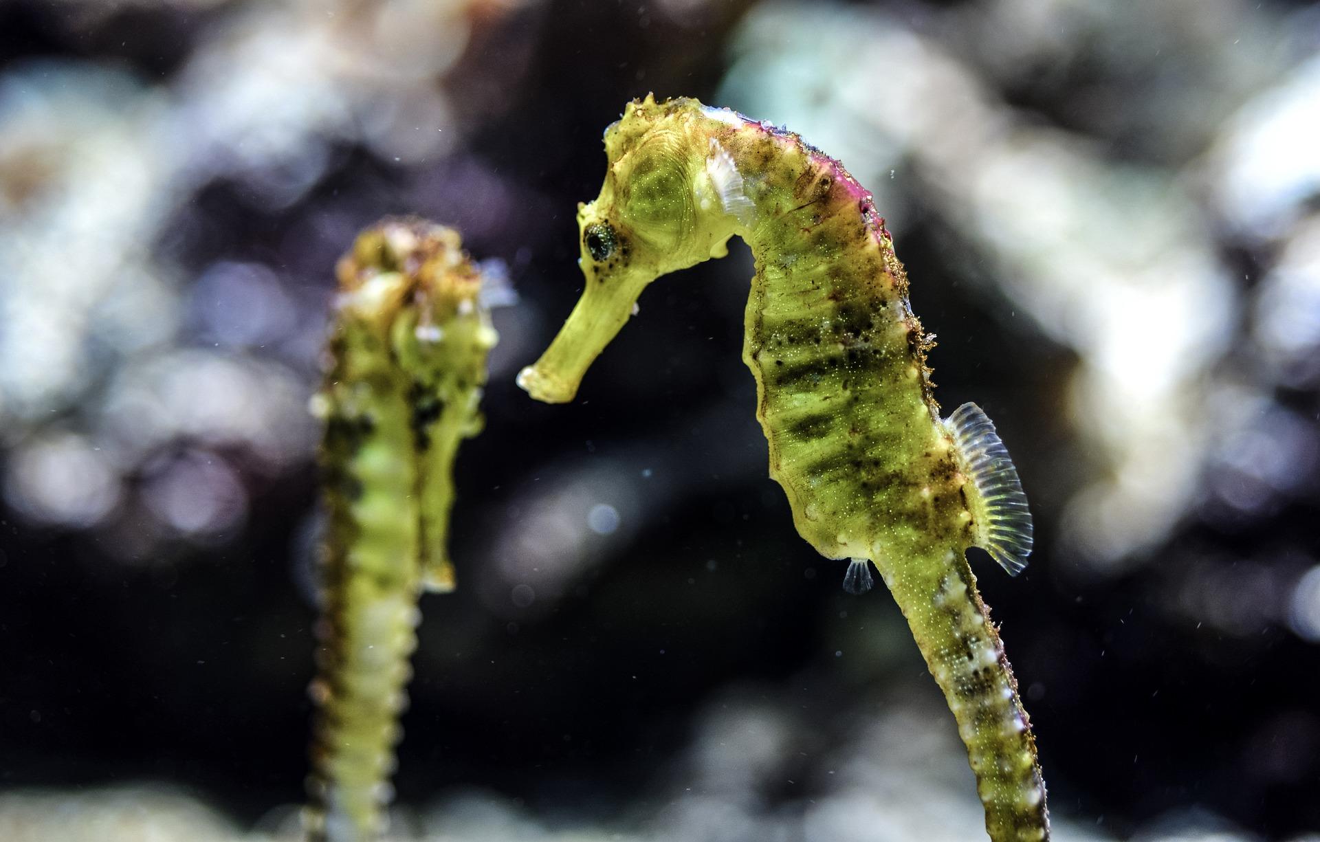 Konik morski ma niezwykle charakterystyczne ciało, duże oczy, długą płetwę grzbietową, znikomą odbytową, nie posiada ogonowej. Konik morski może zmieniać ubarwienie.