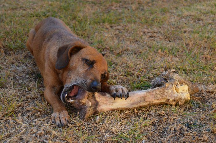 Pies gryzie kość.