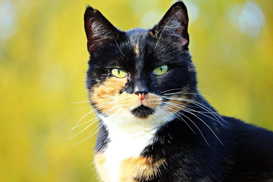 Kot japoński bobtail tricolor - czarny z rudymi i białymi plamkami.